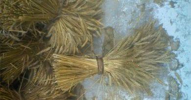 Comuneros producirán y procesarán trigo en el páramo tachirense
